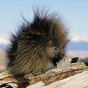 Porcupine, (Erethizon dorsatum) Portrait of sub adult on log. Captive Animal.
