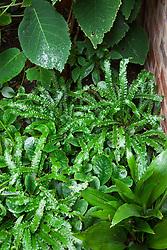 Asplenium scolopendrium 'Angustatum' with Hydrangea aspera subsp.sargentiana, a permanently planted aspidistra and Chrysosplenium davidianum in a shady corner at Old Barn