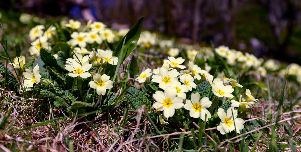Common primrose (Primula vulgaris) from Hidra, Agder, south-western Norway in May.