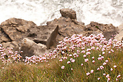 Thrift grows above the crashing waves and rocky ledge of Tilly Whim Caves on the Isle of Purbeck, Dorset, UK