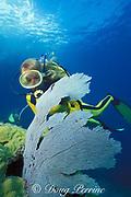 diver and sea fan, Gorgonia ventalina, Key West, Florida ( Western Atlantic Ocean ) Florida Keys National Marine Sanctuary MR 73