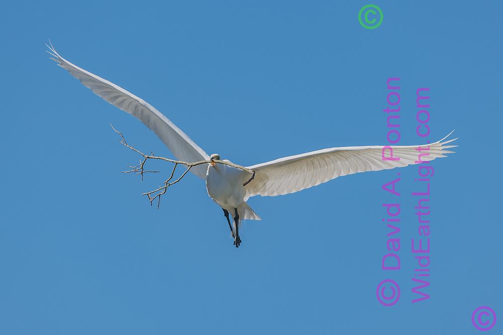 Great egret carrying stick for nest building, Florida, © David A. Ponton