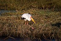 A Yellow-Billed Stork feeding on a riverbank in Chobe National Park, Botswana