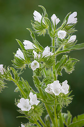 Echium vulgare Alba check id