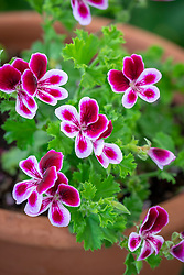 Pelargonium 'Angel's Perfume'