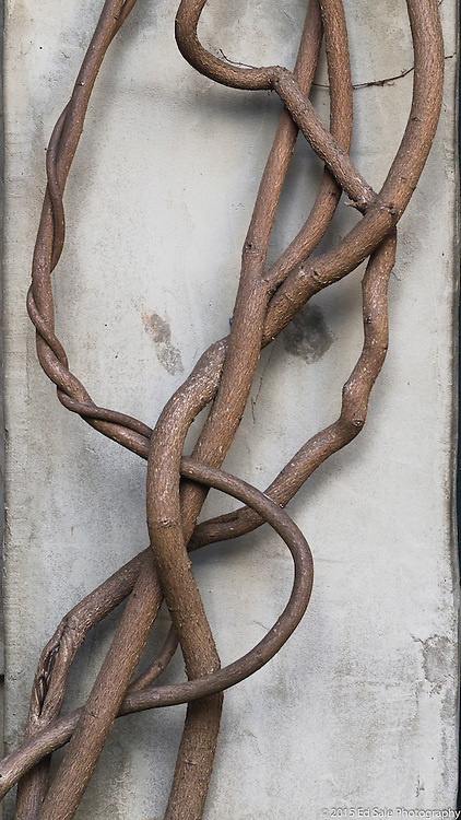 Brown vine spiraling up wall in Carmel, California