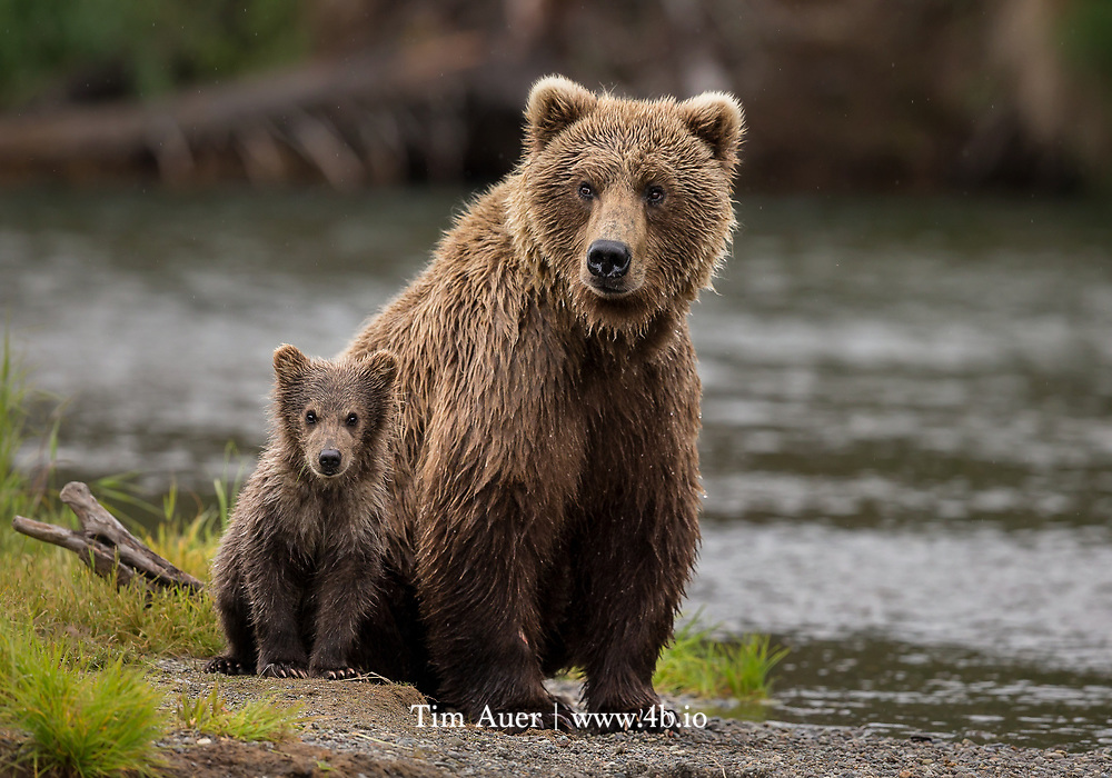 """""""Youth yet unborn will pole up the Missouri with Lewis and Clark, or climb the Sierras with James Capen """"Grizzly"""" Adams, and each generation in turn will ask: Where is the big white bear?"""""""