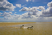 Jack Russell dogs playing in the sea at Utah Beach, Normandy, France