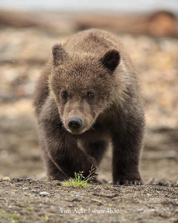 A brown bear cub looks ahead towards its mother, as it makes its way into the forest to follow her, before stepping upon this tuft of grass.