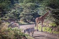 Giraffe & Zebra at Lake Nakuru, Kenya