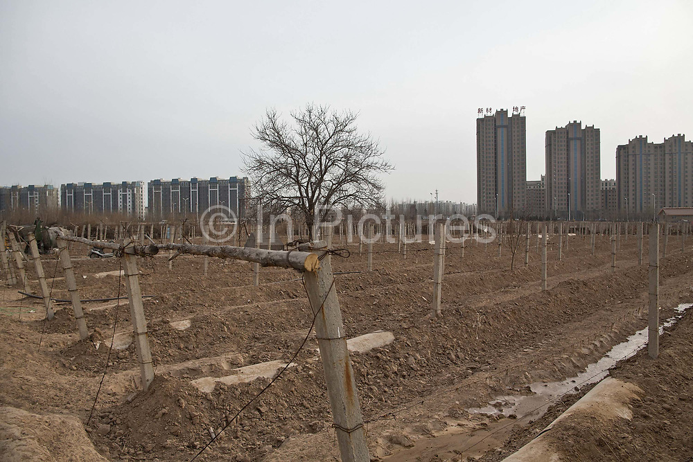 A view of the small vineyard surrounding Silver Heights, in Yinchuan, Ningxia Hui Autonomous Region, China on 19 December  2012.  With its dry climates and ample sunshine, and encouraged by the huge boom in Chinese consumer's demand for wine, Ningxia is quickly becoming one of the biggest wine producing regions in China.