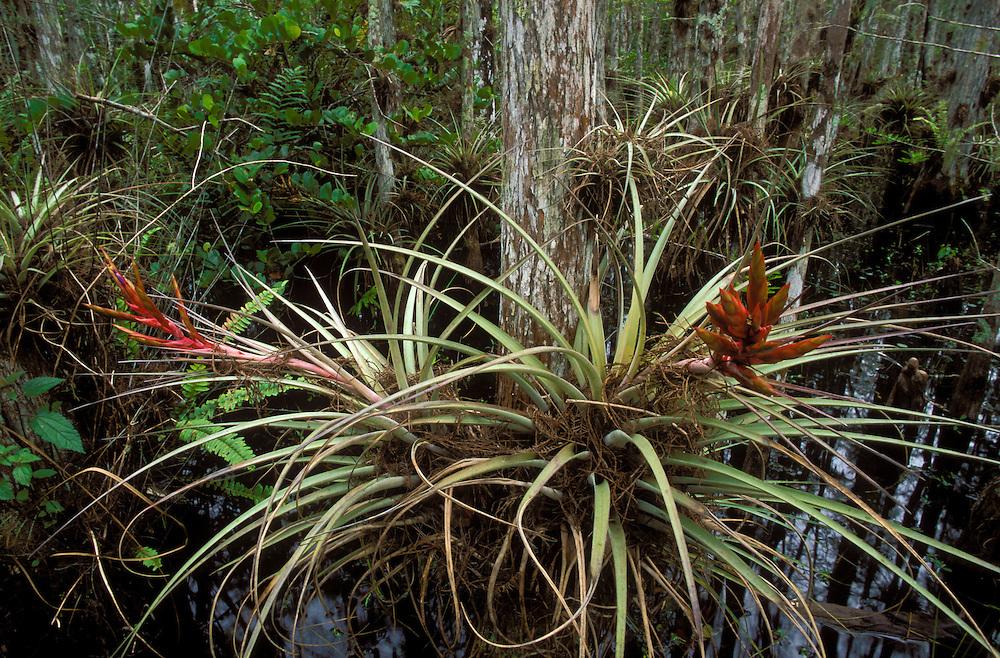 Cardinal airplant (Tillandsia fasciculata) in a cypress dome/slough in Big Cypress National Preserve, Florida.