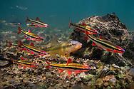 Hornyhead Chub (with Duskystripe Shiners)<br /> <br /> Isaac Szabo/Engbretson Underwater Photography