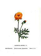 Ranunculus asiaticus, the Persian buttercup, [Here as Asiatic Ranunculus] is a species of buttercup (Ranunculus) native to the eastern Mediterranean region in southwestern Asia, southeastern Europe From the book Wild flowers of the Holy Land: Fifty-Four Plates Printed In Colours, Drawn And Painted After Nature. by Mrs. Hannah Zeller, (Gobat); Tristram, H. B. (Henry Baker), and Edward Atkinson, Published in London by James Nisbet & Co 1876 on white background