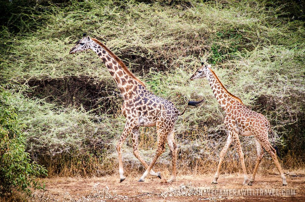 Two giraffes walk through the bush of Lake Manyara National Park in northern Tanzania.