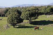 Landschaft mit Kühen, Golan, Hermongebirge im Hintergrund, Galiläa, Israel.|.landscape with cows, Golan hills, Galilee,  Israel.