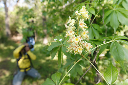 Photographer taking picures of Texas Buckeye Trees (Aesculus glabra var. arguta) in flower, Texas Buckeye Trail, Great Trinity Forest, Dallas, Texas, USA.