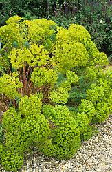 Euphorbia seguieriana growing in the gravle garden at Beth Chatto's