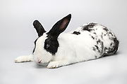 white pet rabbit