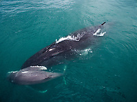 Mother and very young baby Humpback Whale.  Baby is very light colored and possibly born within last 24hrs.<br /><br />In a small protected bay, Bahia Rosario, adjacent to Coiba National park. <br /><br />Panama