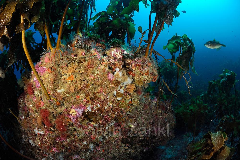 """With kelp, sea anemones, sponges and hydroids covert rock. Poor Knights Islands, Marine Reserve, New Zealand, South Pacific Ocean   Mit Kelp, Seeanemonen, Schwämmen und Hydrozoen bewachsener Fels.  Poor Knights Islands (deutsch """"Arme-Ritter-Inseln"""") ist ein Meeresschutzgebiet vor der Nordostküste der neuseeländischen Nordinsel. Neuseeland, Südpazifischer Ozean"""