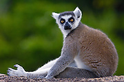 Ring-tailed Lemur (Lemur catta) portrait in the Andringitra Mountains, vulnerable, south central Madagascar