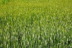 Campo di grano. Nelle immediate vicinanze del bacino le terre vengono coltivate dai ciontadini della zona. Proprio questa categoria è la piu danneggiata dalle continue esondazioni del bacino, che invade le loro terre e ne impedisce lo sfruttamento.