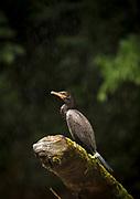 Nature photograph of a single heron bird perching on a branch during rain, Indio Maiz Biological Reserve, Nicaragua