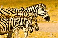 A herd of zebra, Etosha National Park, Namibia