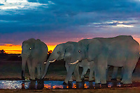 Herd of elephants at a watering hole at twiight, Nxai Pan National Park, Botswana.