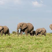 African Elephant (Loxodonta africana) Serengeti Plains, Masai Mara Game Reserve, Kenya Africa