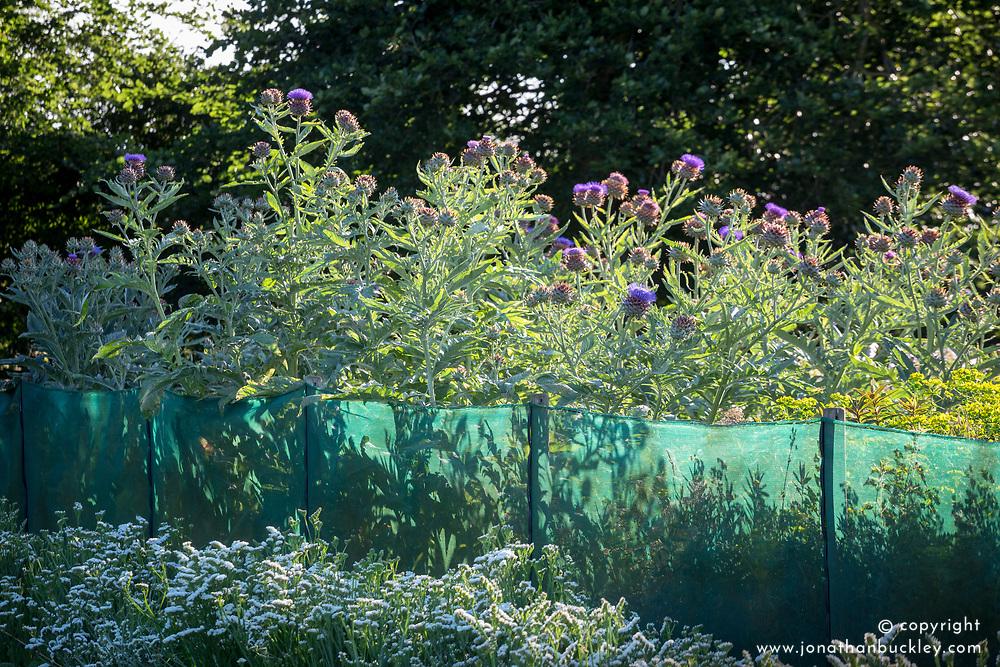 Netting windbreak used between lines of flowers at Green and Gorgeous. Cynara cardunculus - Cardoon, Globe artichoke