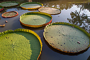 Victoria amazonica. Giant Water Lily close up Amazon Water lily leaves Photographed in Thailand