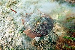 horseshoe crab, .burying itself for camouflage,  .Limulus polyphemus, .Florida Bay, Everglades National Park.