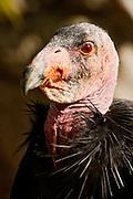 American Turkey Vulture close-up