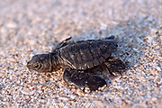 Kemp's ridley sea turtle hatchling, Lepidochelys kempii, Critically Endangered Species, crawls across beach toward ocean, Rancho Nuevo, Mexico