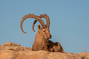 Large, Impressive Male Nubian Ibex (Capra ibex nubiana AKA Capra nubiana) Photographed in Israel, Negev Desert in October