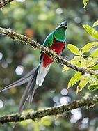 Resplendent Quetzal (Pharomachrus mocinno), near Los Quetzales National Park, Costa Rica.