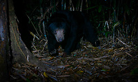 "The sun bear (Helarctos malayanus) is a bear species occurring in tropical forest habitats of Thailand. It is listed as Vulnerable on the IUCN Red List. The global population is thought to havedeclined by more than 30% over the past three bear generations. <br /> The sun bear is also known as the ""honey bear"", which refers to its voracious appetite for honeycombs and honey."