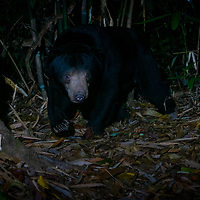 """The sun bear (Helarctos malayanus) is a bear species occurring in tropical forest habitats of Thailand. It is listed as Vulnerable on the IUCN Red List. The global population is thought to havedeclined by more than 30% over the past three bear generations. <br /> The sun bear is also known as the """"honey bear"""", which refers to its voracious appetite for honeycombs and honey."""