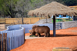 April 26, 2018 - Shenyan, Shenyan, China - Shenyang, CHINA-26th April 2018: White rhinos at Shenyang Forest Zoo in Shenyang, northeast China's Liaoning Province, April 26th, 2018. The Northern White Rhino (Ceratotherium simum cottoni) is the rarest and most endangered subspecies, and probably extinct in the wild. (Credit Image: © SIPA Asia via ZUMA Wire)