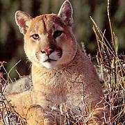 Mountain Lion or Cougar, (Felis concolor) Portrait of adult.  Captive Animal.