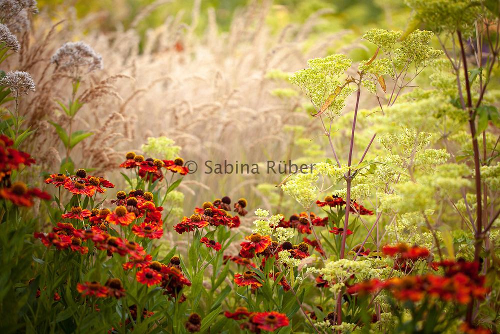 Helenium 'Moerheim Beauty' and Patrinia aff. punctiflora, Wildegoose Nursery, Shropshire