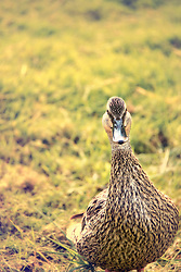 This duck was not so happy with me getting close, so I kept my distance