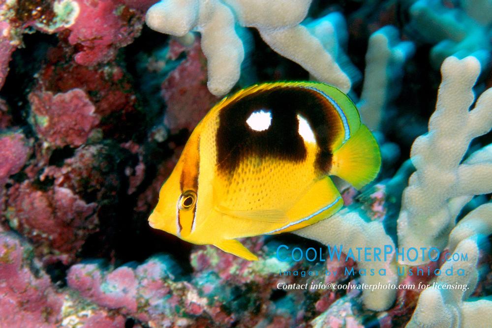 fourspot butterflyfish, Chaetodon quadrimaculatus, Kona, Big Island, Hawaii, Pacific Ocean