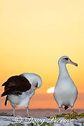 Laysan albatross, Phoebastria immutabilis, preening during courtship dance at sunset, Sand Island, Midway Atoll, Midway National Wildlife Refuge, Papahanaumokuakea Marine National Monument, Northwest Hawaiian Islands, U.S.A. ( North Pacific Ocean )