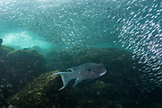 Streamer Hogfish (Bodianus diplotaenia) & baitfish<br /> Puerto Egas, Santiago Island<br /> Galapagos<br /> Pacific Ocean<br /> Ecuador, South America