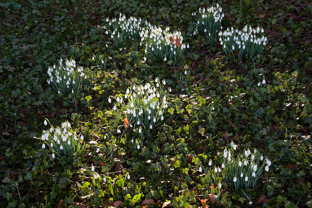 Snowdrops in Oxfordshire woodland, England, United Kingdom