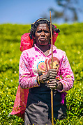 A tea plucker on the Pedro Estate, Nuwara Eliya, Sri Lanka