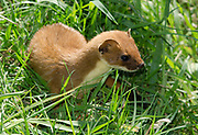 Close-up of a Stoat (Mustela erminea) walking through long grass at the British Wildlife Centre Surrey